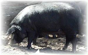 Deerfield Ranch, LLC: Mulefoot Hogs