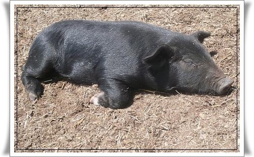 Parmanian Acres Mulefoot Pigs For Sale